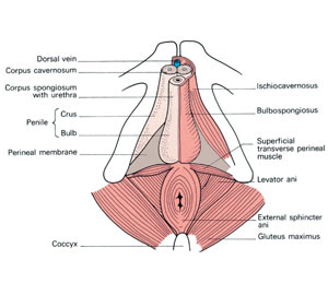 FIND THE RIGHT MUSCLES for Kegel exercises